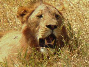 Lions Poisoned in Kenya and Tanzania near Ngorongoro Crater