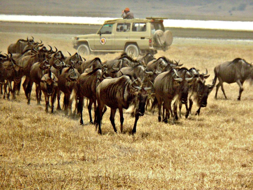 herd of wildebeest raise dust in front of safari vehicle