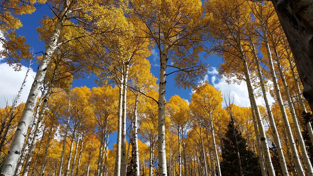 Looking up at aspen trees decked out in golden colors in Flagstaff leaf peeping