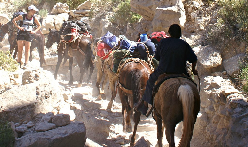 Pack mules and horses in Havasu Canyon