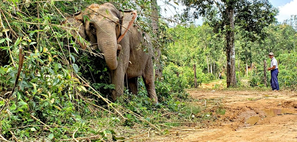 Elephant forages for food in thick mountain foliage. His handler watches from afar.