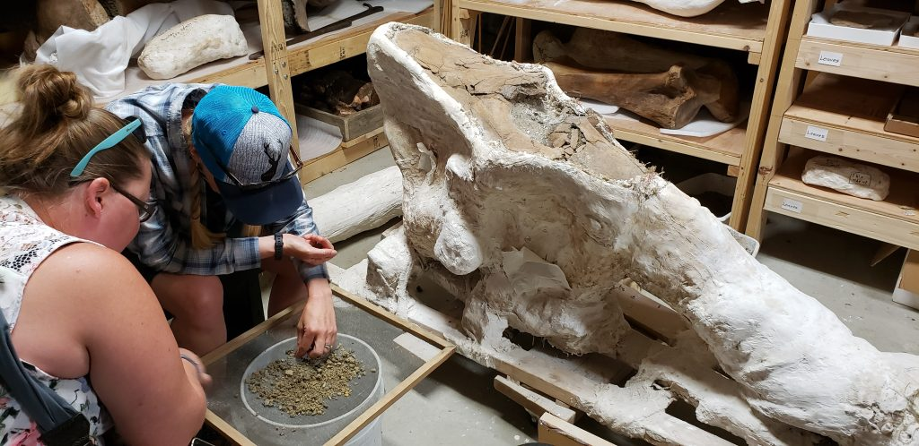 In a museum storeroom, two women sift through sand hoping to find dinosaur bone pieces.
