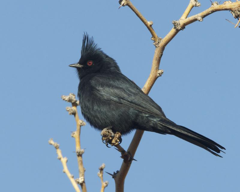 Black bird with crest like a cardinal sits on a leafless twig