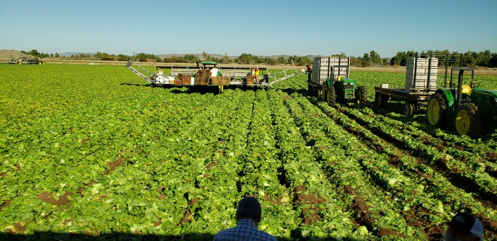 A long piece of farm equipment straddles about 10 rows. It has white tank on board. A truck with trailer is connected with conveyor to load laready wrapped iceberg lettuce.