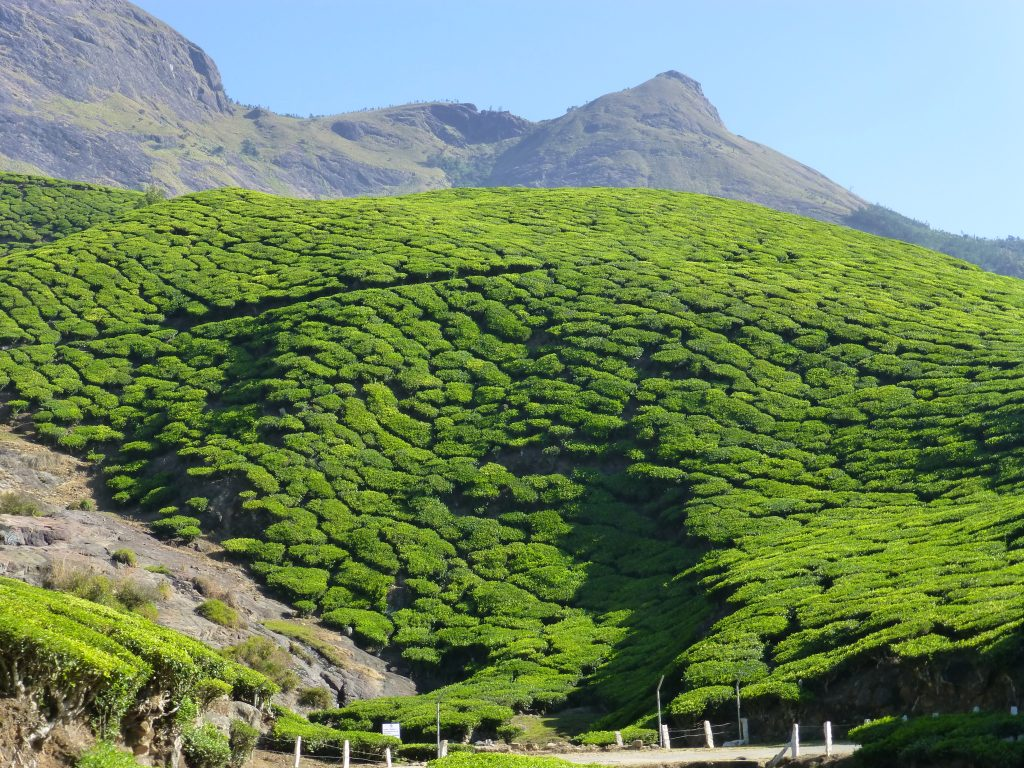 Green tea fields surrounded by high, granite mountains