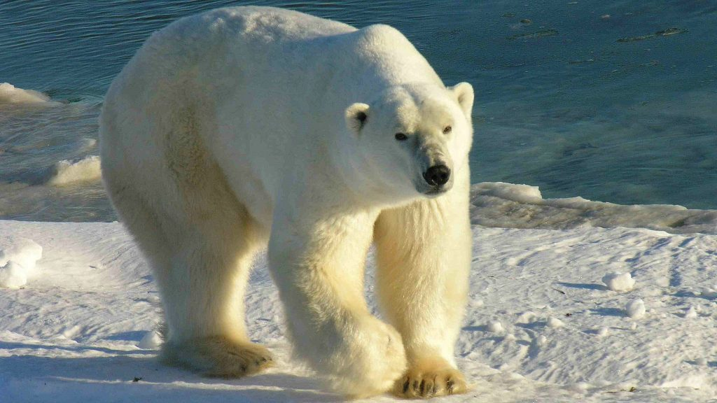 Hudson Bay polar bear: White bear with hump on its back and big paws walks on ice next to blue open water