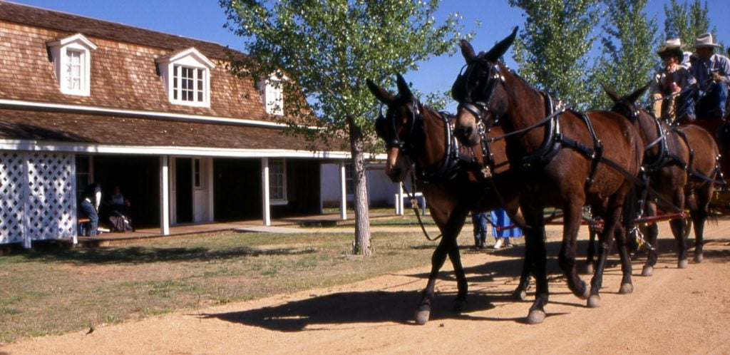 Mules pulling a wagon walk on dirt road in front of Fort Verde Military Headquarters building during living history reenactment