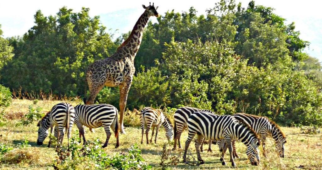 giraffe stands tall over small herd of zebra