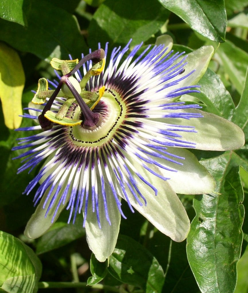 close up of exotic passionflower - white petals, purple center