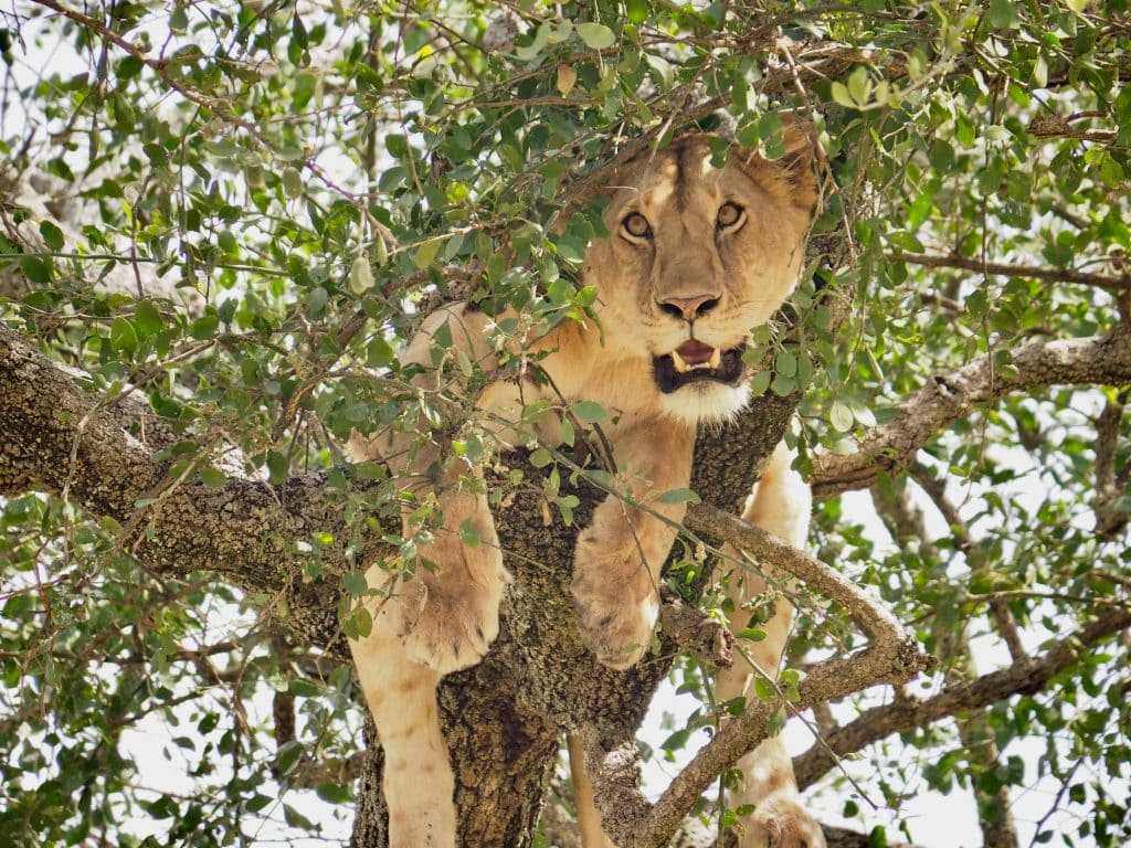 large female African lion peers through branches of leafy tree showing large teeth