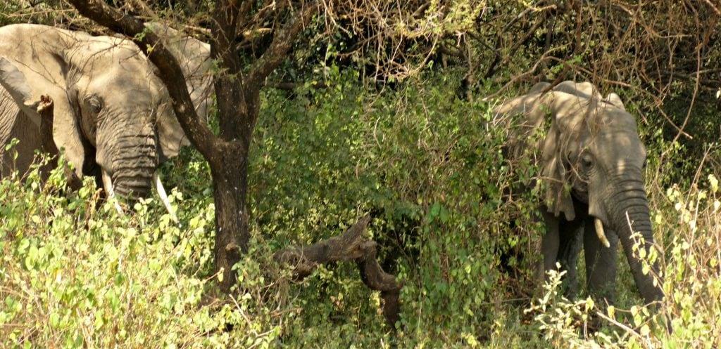 two african elephants are camoflashed among trees at Lake Manyara National Park safari