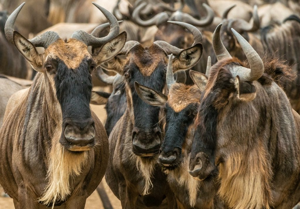 4 wildebeest with curved horns and long beards stare at camera while many more are in the background