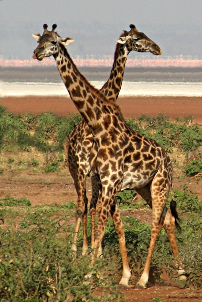 the same 2 giraffes from the beginning of the article, with pink lake behind