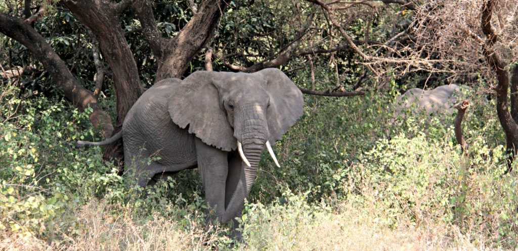 Image for World Elephant Day: African elephant in green trees of Lake Manyara NAtional Park
