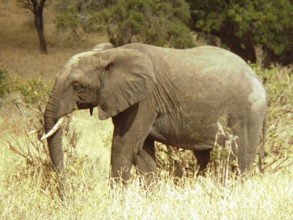 African elephant in tall grasses