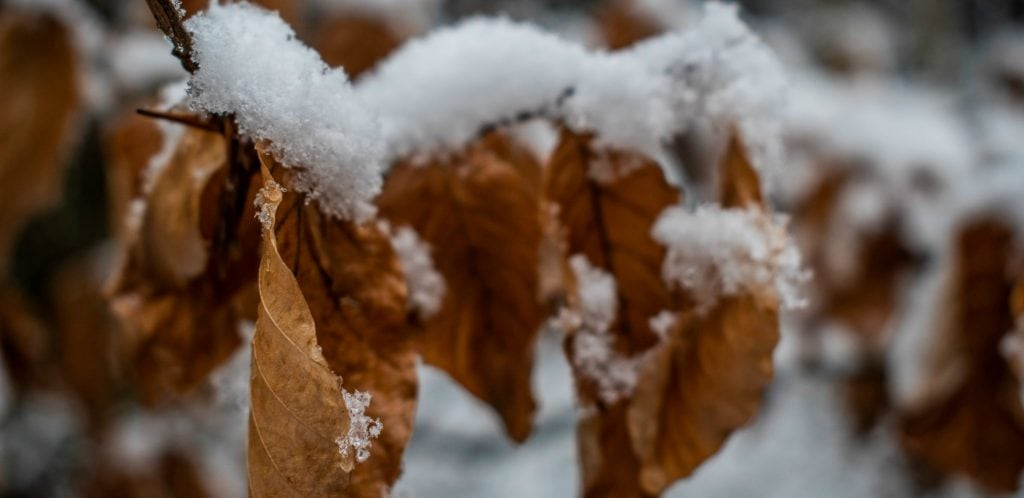 fluffy snow lays on top of brown vine leaves could be found along Michigan Wine Trails in the winter