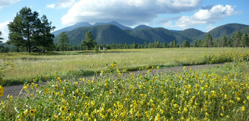 hikers on the buffalo Park trails with sunflowers in foreground and the blue San francisco Peaks in the background make this a fun thing to do in Flagstaff