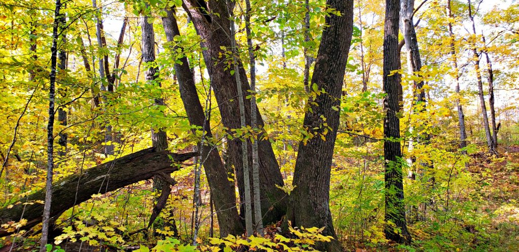 Two large maple trunks rise from the forest floor in a V-shape. Two smaller trees of a different species form a second V inside the first V