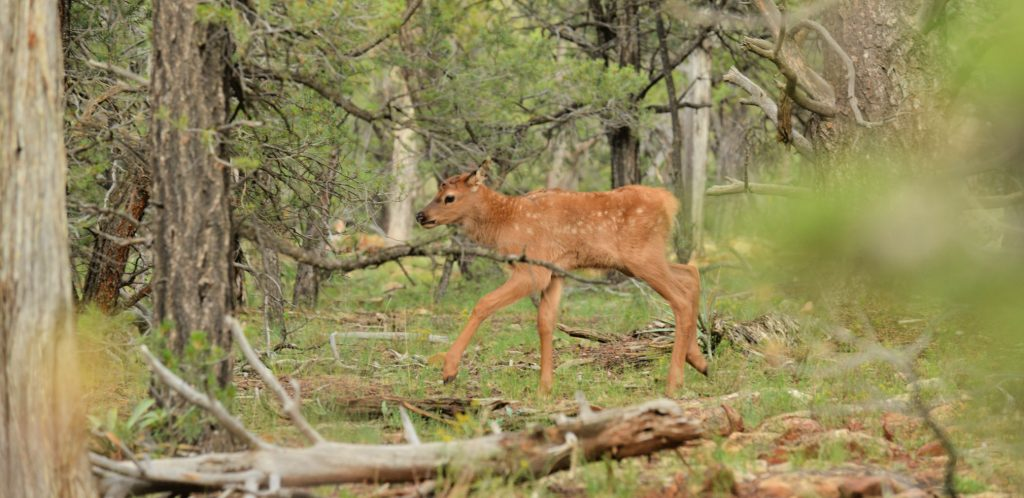 wobbly young elk calf finds its way through downed Ponderosa pine trees - watching young animals is one of the pleasures of Wildlife in Arizona