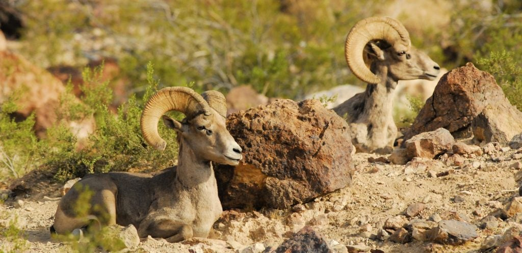 Arizona animals include these two Desert Bighorn rams laying down near boulders in the desert