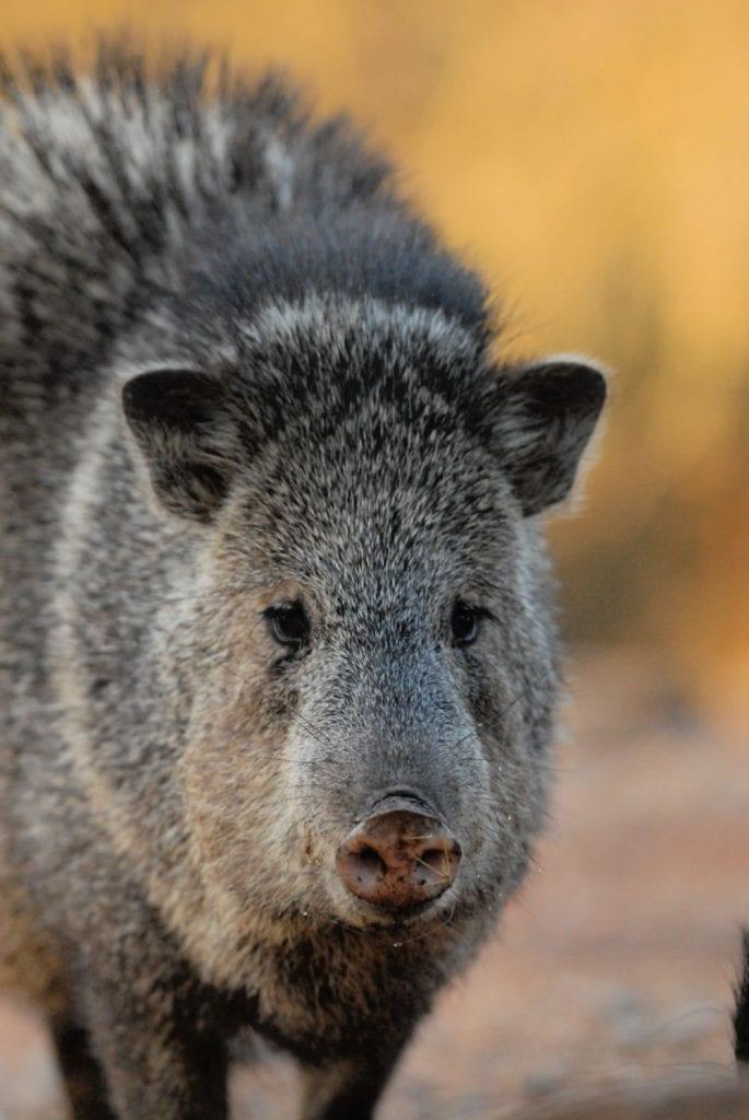 Wildlife Arizona - Javelina looks like a large hamster - fluffy and gray