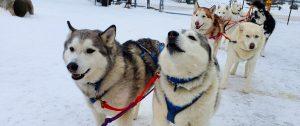 Dog Sledding Tours in Wisconsin: Siberian Outpost