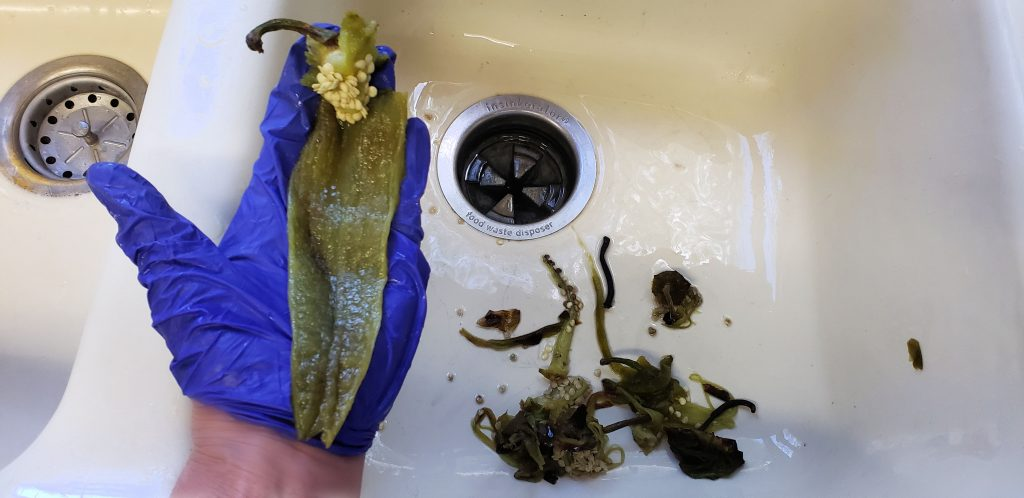 hand holds roast chilies over kitchen sink with stem placed higher and closer to the water facet